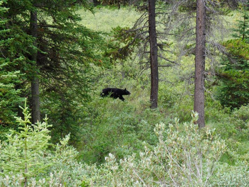 Beren spotten in de wilde natuur van de VS