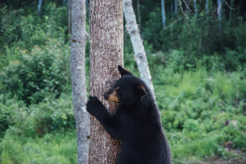 Beren proberen te spotten