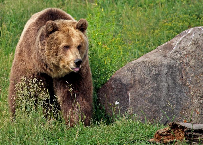 Grizzly beren spotten