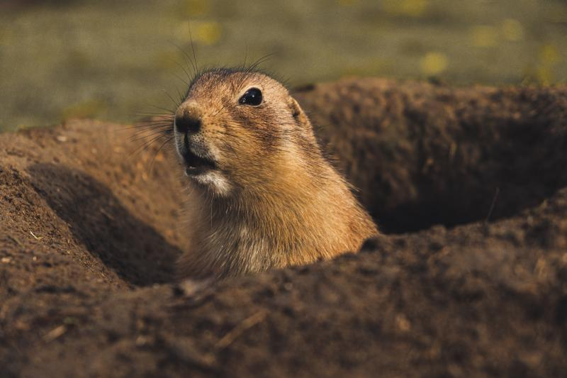 Prairie hondjes Montana