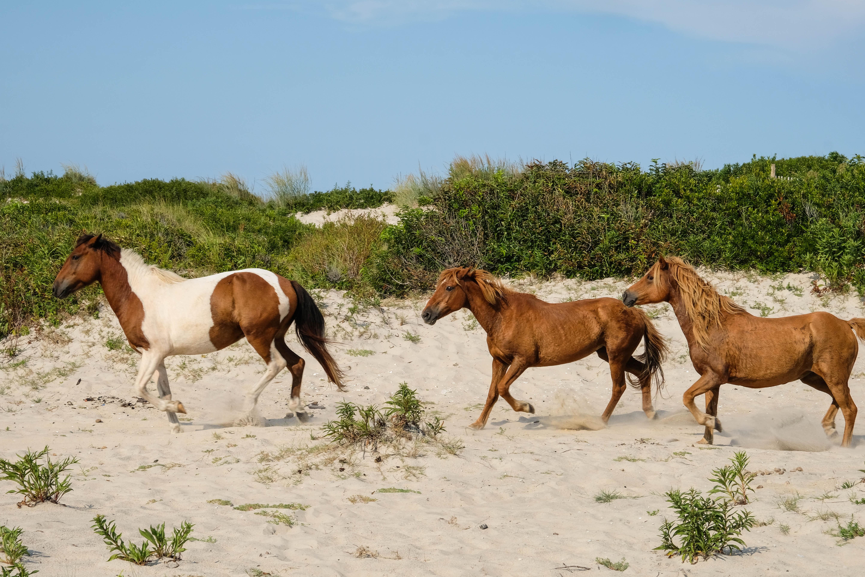 Paarden Maryland